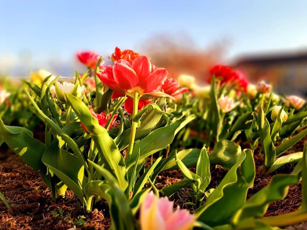 Stadt Villach verschenkt Blumenzwiebeln